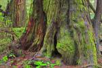 Photo: Big Cedar Tree Rainforest Pacific Rim National Park