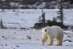 Photo: Polar Bear Tundra Walk Hudson Bay Churchill