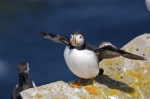 Photo: Adult Atlantic Puffin Bird Island Colony