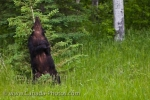 Photo: Adult Female Black Bear Back Scratching Riding Mountain National Park
