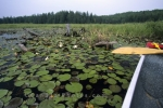 Canoeing amongst the lily pads on a pond in Algonquin Provincial Park in Ontario, Canada.