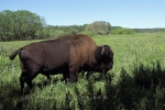 Photo: American Bison