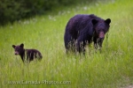 A cute American Black Bear cub stays close to its mother, the sow, while grazing on the lush grasses in Riding Mountain National Park. The scientific name for the Black bear is Ursus americanus.