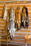 Photo: Animal Pelts Picture Last Mountain House Provincial Park