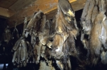 Animal skins hang from the rafters in Old Fort William in Thunder Bay, Ontario in Canada.