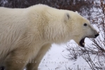 Photo: Arctic Animal Yawning Hudson Bay Churchill