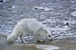 Photo: Arctic Fox Foraging Churchill Manitoba