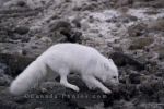 Photo: Arctic Fox Hunt Churchill Manitoba