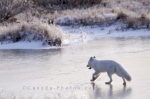 An Arctic Fox makes his way across the icy tundra of Hudson Bay in Churchill, Manitoba after the first few days of the cold winter climate has moved in.
