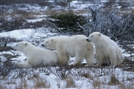 Photo: Arctic Polar Bears