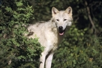 Photo: Arctic Wolf Picture