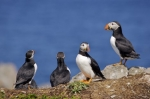 Photo: Atlantic Puffin Mates Bird Island Newfoundland