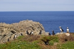 The coastal shores where Bird Island is located in Newfoundland, Canada, makes the ideal place for the colony of Atlantic Puffins to nest and breed.