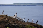 Photo: Atlantic Puffins Group Bonavista Peninsula Newfoundland
