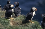 Photo: Funny Animal Atlantic Puffins