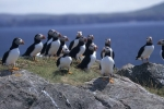 Photo: Atlantic Puffins Newfoundland