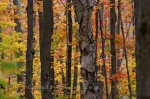 A fine forest picture with trees that begin to take form as Autumn slowly creeps into Algonquin Provincial Park in Ontario, Canada.
