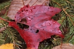 Raindrops left on Autumn leaves in Kouchibouguac National Park in New Brunswick, Canada.