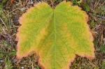Photo: Autumn Maple Leaf Forillon National Park Quebec
