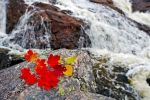 Autumn changes Maple leaves into an array of color like these ones displayed atop a rock next to a waterfall in Lake Superior Provincial Park in Ontario, Canada.