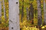 The bark on each tree in the forest of Algonquin Provincial Park in Ontario, Canada becomes more prominent as the Autumn leaves begin to change and fall.