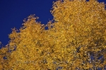 Brilliant yellow Autumn leaves on a tree adorning the Promenade des Gouverneurs in Old Quebec in Quebec, Canada.