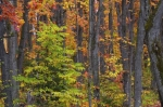 A forest adorned with colorful Autumn trees is what you will see when driving along the road to Rock Lake in Algonquin Provincial Park in Ontario, Canada.