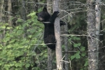 A baby black bear climbs a tree in Ontario, Canada for safety.