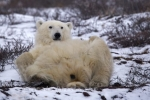 Photo: Polar Bear Back Massage Winter Arrival Churchill