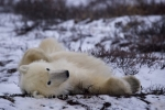 A Polar Bear finds the icy tundra of Churchill, Manitoba the ideal place to give himself a back rub as parts of the tundra growth still pokes through.