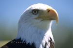 The bald eagle (Haliaeetus leucocephalus) is a symbol of America representing strength.