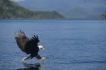 Flying bald eagle catching prey, Vancouver Island, Canada.