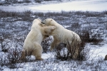 Photo: Bear Fight Churchill