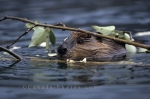 A cute beaver has a snack from a leafy branch that floats on the surface of the water.