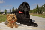 Ella the large black Newfoundland Dog and Maple, her sidekick, are best friends that pose for their picture at the Rifflin'Hitch Lodge in Southern Labrador, Canada.