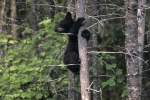 A Black Bear Cub, Ursus americanus, waits for its mother in a tree.