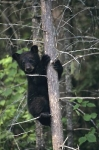 A Black Bear clings to a tree as he waits for the return of his mother who is hunting for food in the wilderness of Ontario, Canada.