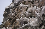 Photo: Black Legged Kittiwake Birds Colony Newfoundland