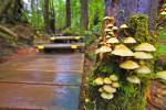 Mushroom covered tree beside a wet boardwalk leading through thick rain forest on the west coast of Vancouver Island, British Columbia.