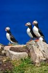 Standing proud above Bonavista Bay in Newfoundland, Canada, three Atlantic Puffins find pleasure at Bird Island during breeding season.