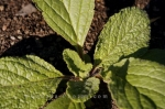 Photo: Borago Officinalis Garden Of Innovations Quebec