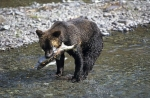 Photo: Brown Bear Fishing