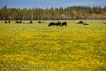 The bright yellow hues of the dandelions adorn a field where a group of cows graze in the field on the Bruce Peninsula in Ontario, Canada.