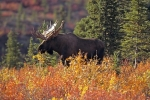 A large bull moose with a full set of antlers wanders freely amongst the colorful autumn landscape in Denali National Park in Alaska, USA.