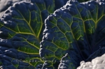 The veins on the leaves of the Savoy Cabbage plant weave in and out creating a lacy pattern in the garden at the Montreal Botanical Garden in Quebec, Canada.