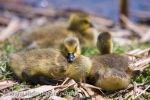 Photo: Canada Geese Goslings Point Pelee National Park Leamington Ontario