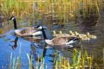The parents which tend to these cute Canada Geese goslings, keep their young close by while swimming along the shoreline of Lake Erie in Ontario, Canada.