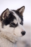 Photo: Canadian Eskimo Dog Puppy Face