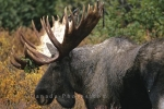 Photo: Canadian Wildlife Moose
