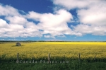 For miles across a prairie field, canola flowers blossom under fluffy white clouds that pass over Eastern Alberta, Canada.